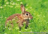 ansichtkaarten wilde dieren konijn, wild animal postcard rabbit, Postkarten Wilde Tiere Wildkaninchen