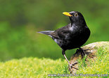 ansichtkaart bosvogels vogels Merel, postcardforest birds Common blackbird, Postkarte waldvögelAmsel