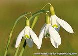 Bloemen kaarten, ansichtkaart Sneeuwklokjes - postcard flowers  snowdrop - Postkarten Blumen Kleine Schneeglöckchen