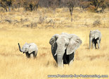 dierenkaarten ansichtkaart dieren Afrikaanse olifant, postcard animals African elephant, Afrikanische Elefanten Postkarte