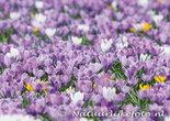 bloemen kaarten, ansichtkaart bloemen Krokussen - flower postcards Crocuses - blumen Postkarten Krokusse