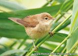 ansichtkaarten vogels - Bosrietzanger