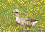 vogelkaarten, ansichtkaarten vogels Grauwe gans, bird postcards Greylag goose, postkarte vögel Graugans
