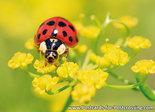 ansichtkaart Lieveheersbeestje - Postcard Lady beetle - Postkarte / Ansichtskarte Marienkäfer