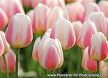 Bloemen kaarten, ansichtkaart bloemen tulp - flower postcards tulip - blumen Postkarten Tulpe