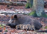 dierenkaarten, ansichtkaarten wilde dieren Everzwijn, animal postcard Wild boar, Tier Postkarte Wildschwein