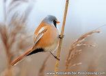 vogelkaarten baardmannetje, bird postcards Bearded reedling, Vogel Postkarte Bartmeise