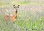 dierenkaart ansichtkaarten dieren ree, animal postcard deer, Tier Postkarte Reh