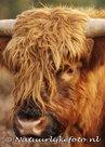ansichtkaarten dieren Schotse hooglander, postcards animals Scottish Highlander, Postkarten Tiere Schottenmuster
