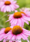 bloemen kaarten, ansichtkaart bloemen Zonnehoed - Coneflower postcard - blumen Postkarten Sonnenhut