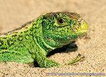 Ansichtkaart Zandhagedis kaart, Sand lizard postcard, Postkarte Zauneidechse