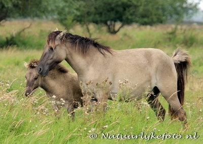 ansichtkaarten dieren Konik paarden, animal postcards Konik horses, Postkarte Konik Pferde