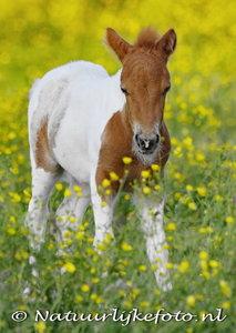 ansichtkaart veulen kaart, foal postcards , Tiere postkarten Fohlen