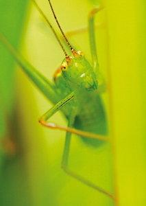ansichtkaart Gouden sprinkhaan kaart - Golden grasshopper postcard - postkarte Grosse Goldschrecke