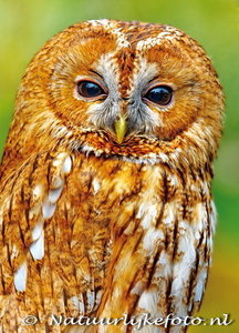 ansichtkaart bosuil kaart, owl postcards Tawny / Brown owl, postkarte Eulen Waldkauz