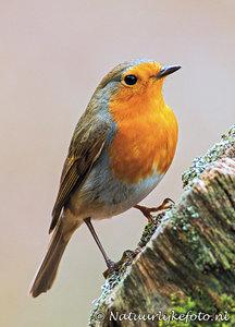 ansichtkaart bosvogels vogels Roodborstje, postcardforest birds Robin, Postkarte waldvögelRotkehlchen