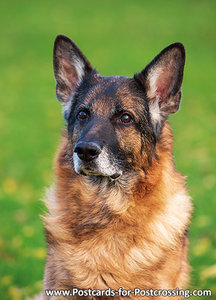 Duitse herder (0555)