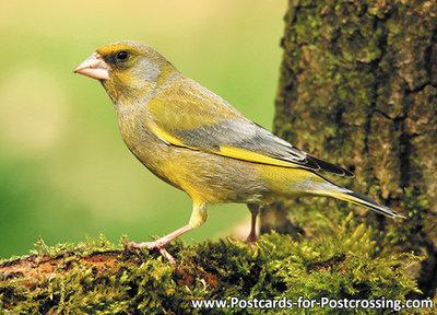 ansichtkaart Groenling kaart, Bird postcardforest European greenfinch, Vögel Postkarte Grü