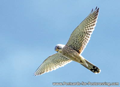 ansichtkaartroofvogels Torenvalk - postcard raptor bird Common Kestrel - postkarte greifvögel Turmfalke