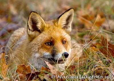 ansichtkaart vos kaart, fox postcard, Fuchs Postkarte