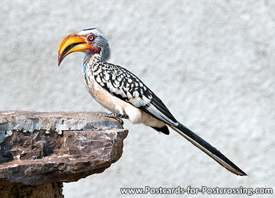 Zuidelijke geelsnavel tok, Southern yellow-billed hornbill, Südlicher Gelbschnabel toko
