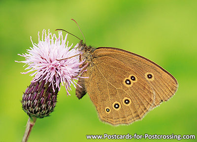Ansichtkaartvlinder Koevinkje, Postcard Ringlet butterfly, Postkarte Brauner Waldvogel