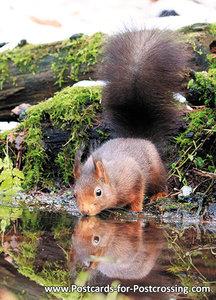 eekhoorn kaart, wild animal postcard Red squirrel, TierPostkarte Eichhörnchen