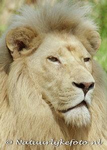 Leeuw kaart, Afrikaanse leeuw ansichtkaart, postcard African lion, Postkarte Löwe