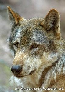 Wolf kaart, ansichtkaart wolf, wolf postcard, Postkarte wolf