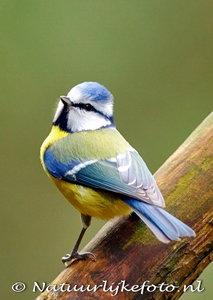 ansichtkaart Pimpelmees kaart, forest bird postcardTomtit, WaldvogelPostkarte Tomtit