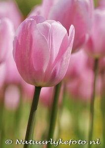 Tulp kaart ansichtkaart - Postcard Pink Tulip - blumen Postkarten Tulpe
