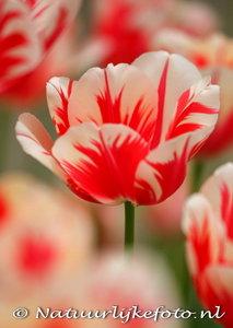 ansichtkaart tulp kaart - Tulip postcard - blume Postkarte Tulpe