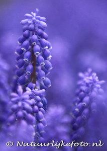 ansichtkaart blauwe druifjes kaart - Grape hyacinths postcard - blumen Postkarten Traubenhyazinthen