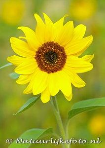 ansichtkaart zonnebloem kaart - Sunflower postcard - blume Postkarte Sonnenblume