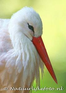 ansichtkaart ooivaar kaart, postcard Stork, Postkarte Stork
