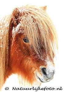 ansichtkaart Shetlandpony in de winter,  Shetland pony postcard, Postkarte Tiere Shetlandpony im Schnee
