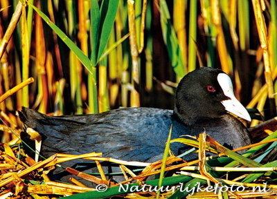 ansichtkaart Meerkoet kaart, bird postcards Eurasian Coot, vögel postkarte Blässhuhn