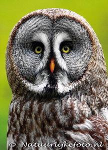 ansichtkaartLaplanduil kaart, owl postcards Great gray owl, Eulen postkarte Bartkauz