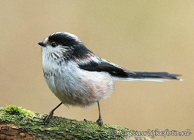 ansichtkaart Staartmees kaart, forest birds postcardLong tailed Tit, Waldvögel Postkarte Schwanzmeis