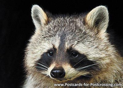 ansichtkaart Wasbeer kaart, zoo animals postcards Raccoon, Zoo Tier Postkarte Waschbär