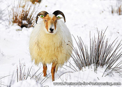 dieren kaarten, Drents Heideschaap in de winter, postcard Drents Moorland sheep in winter, Winter Postkarte