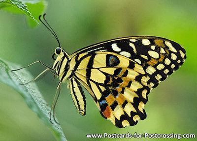 Vlinder kaarten, ansichtkaart Limoenvlinder - postcardLemon butterfly - postkarte Lemon Schmetterling