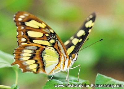 Vlinder kaarten, ansichtkaart Malachietvlinder - Malachite butterfly postcard- Schmetterling Postkarte Malachitfalter