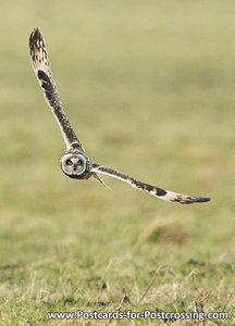 Uilenkaarten ansichtkaartvogel Velduil, owl postcards Short eared owl, postkarte Eulen Sumpfohreule
