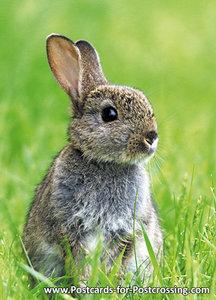 ansichtkaarten wilde dieren konijn, wild animal postcards rabbit, Kleine Kaninchen Postkarte