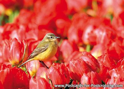 vogelkaart, Gele kwikstaart - bird postcardsWestern yellow wagtail - Vögel postkarte Schafstelze