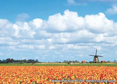 typisch nederlands Ansichtkaart molen met tulpen, mill postcard, Mühle Postkarte