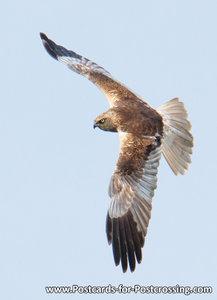 Vogel kaart Bruine kiekendief, Bird postcards Western marsh harrier, Vögel postkarte greifvögel Rohrweihe