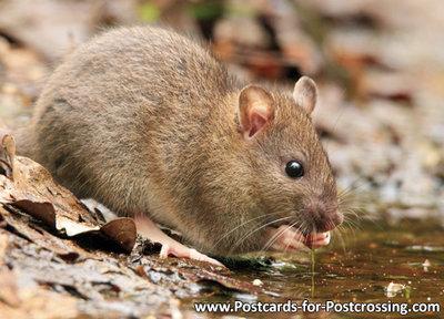 ansichtkaart rat kaart - postcard rat - postkarte Ratten