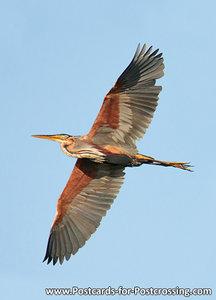 ansichtkaart Purperreiger kaart, bird postcards Purple heron, postkarte vögel Purpurreiher